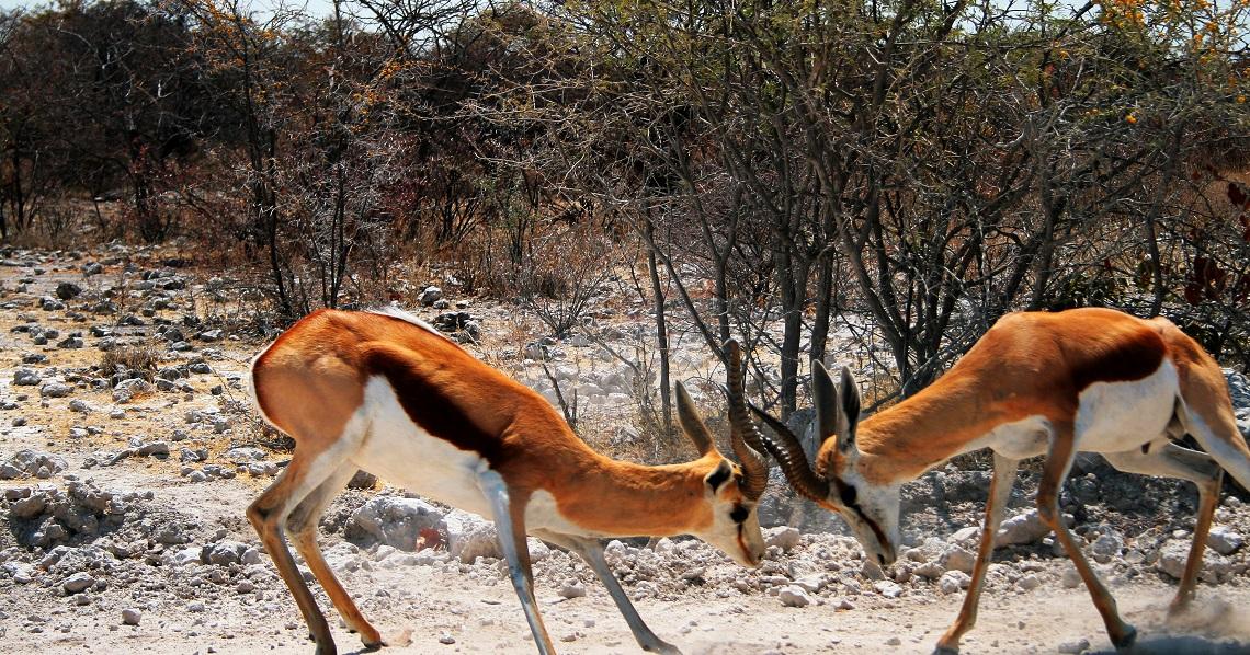 lucha ciervos